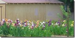 iris plot 4-24-12
